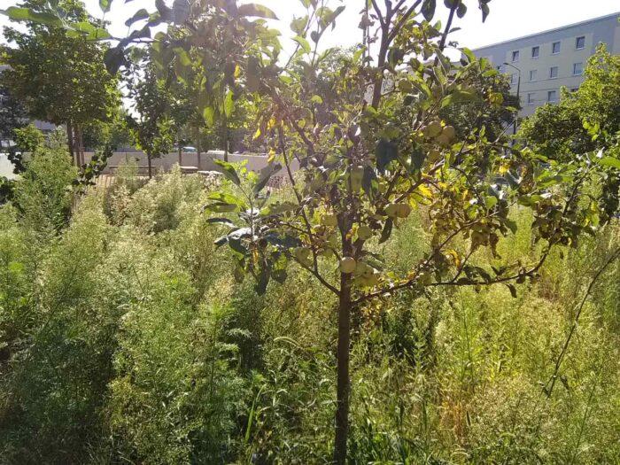Ein Obstbaum auf einer hoch bewachsenen Grünfläche.