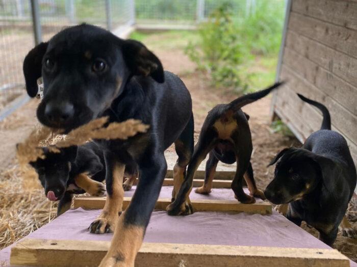 Schwarze Welpenhunde laufen eine Rampe hinauf.